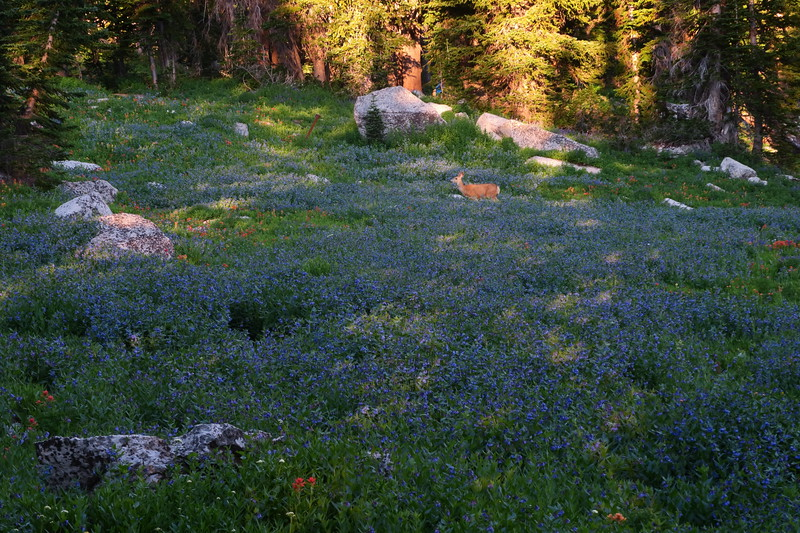 Muley doe in the wildflowers bathed in morning light