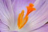Crocus tommasinianus detail, Seattle, WA. © 2007 Kenneth R. Sheide