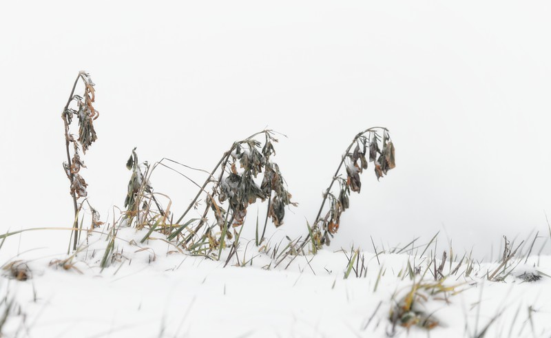 Winter grass 2013-01-08  I went for a walk in the woods yesterday during our first snowstorm.  (not much accumulation and almost gone already).  I thought these grasses made a nice scene.  [n.b. they were on a dike and I was below the dike, so I didn't have to lie on my stomach to get this view]