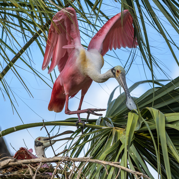 Roseate Spoonbill - Honey, we need another stick