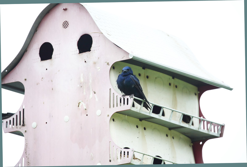 A Purple Martin on his viewing porch