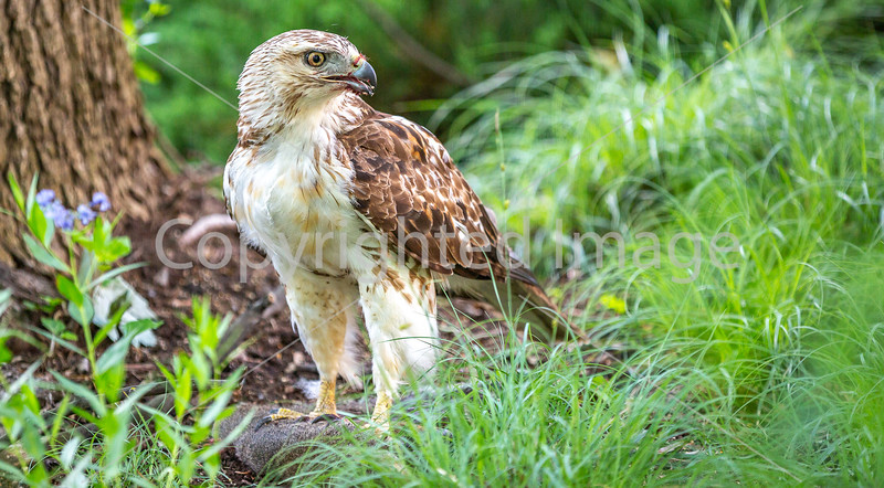 Red-Tailed Hawk -- Standing Atop His Prey