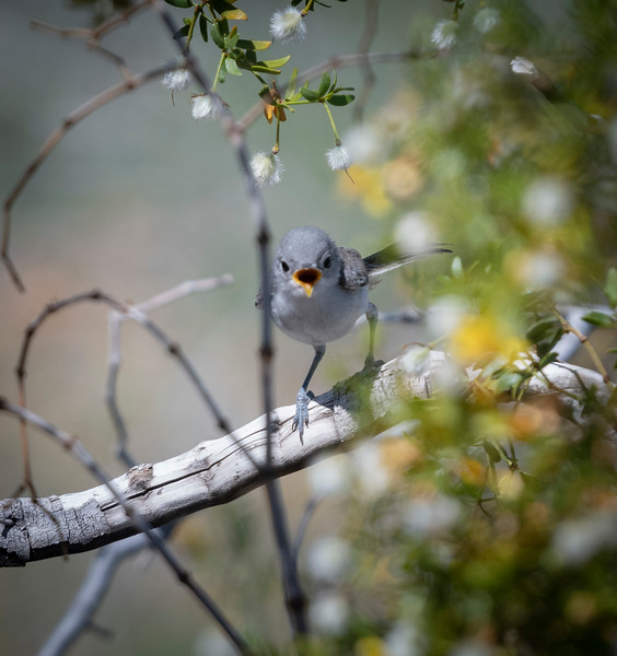 Black-tailed Gnatcatcher (Brand new)