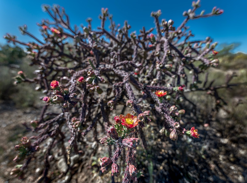 BR - Staghorn Cholla with Flowers