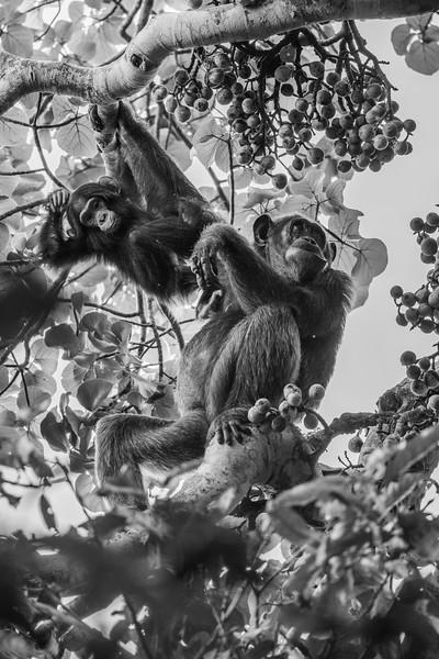 Uganda_T_Chimps-1271.jpg