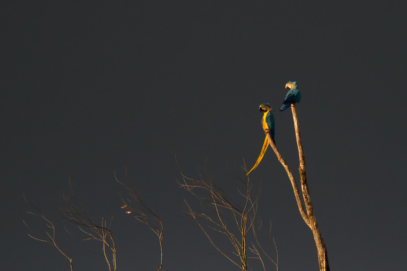 Blue-and-yellow Macaw - Captive - Arenal, Costa Rica