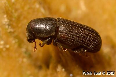 Borkenkäfer (Unterfamilie Scolytinae)