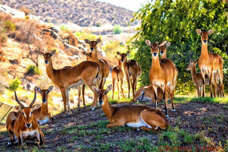 Herd of Ugandan Kobs