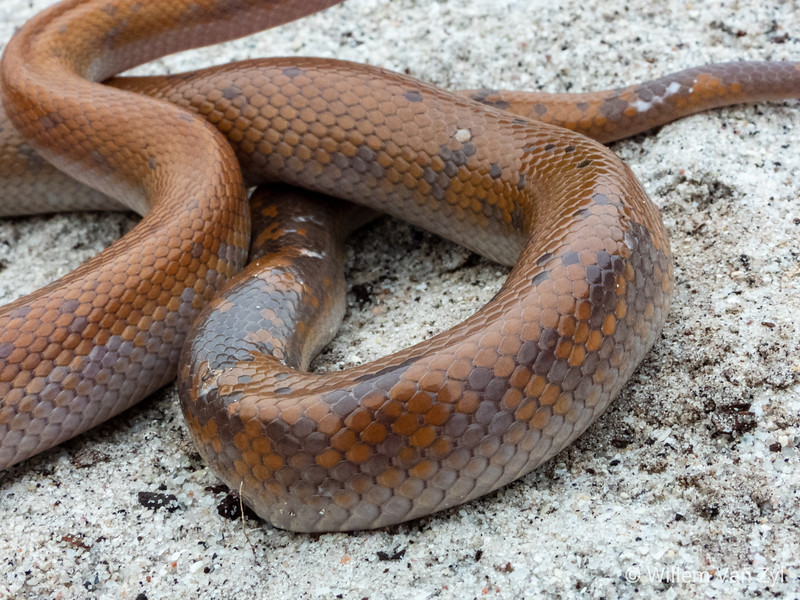 20190610 Brown House Snake (Boaedon capensis) from Durbanville, Western Cape
