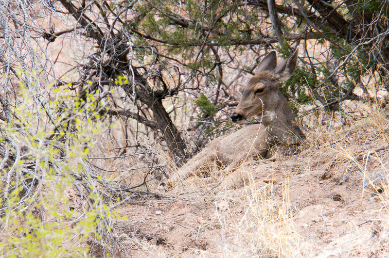 Deer in the bushes at Bandelier National Monument