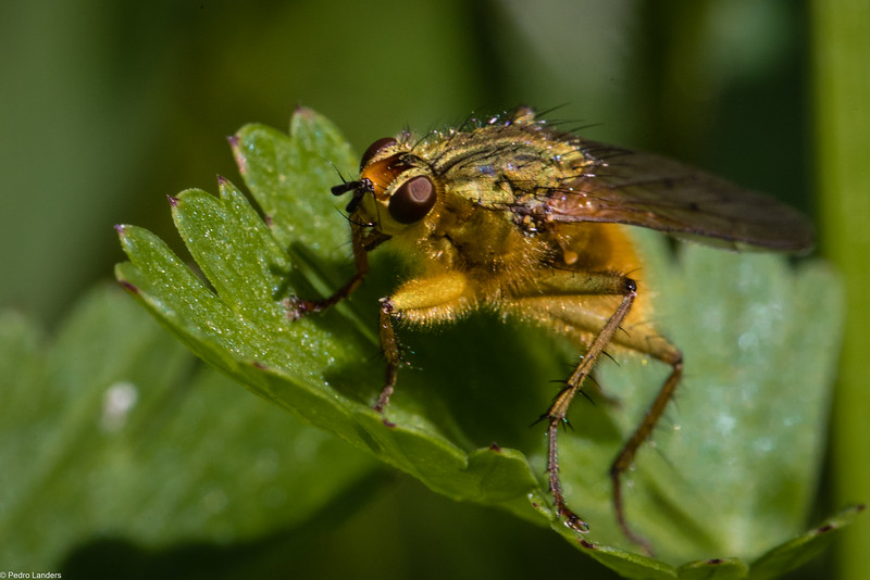 Yellow Dung Fly 2