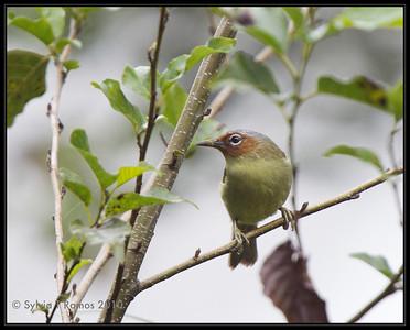 Chestnut-Faced Babbler