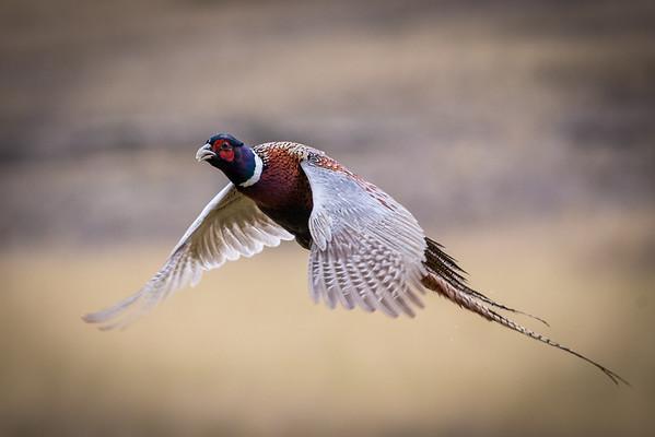 Game Birds of Idaho