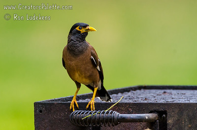 Common Myna (Acridotheres tristis)