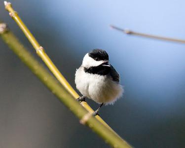 Birds C - E