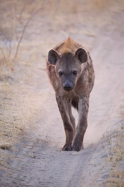Hyena, Selinda Explorer camp, Botswana