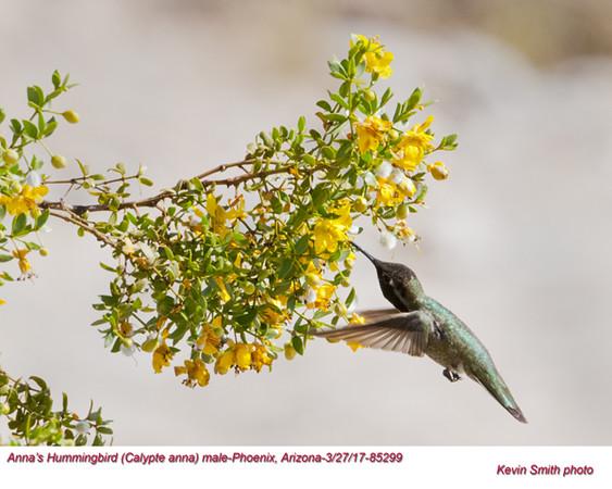 Anna's Hummingbird M85299.jpg