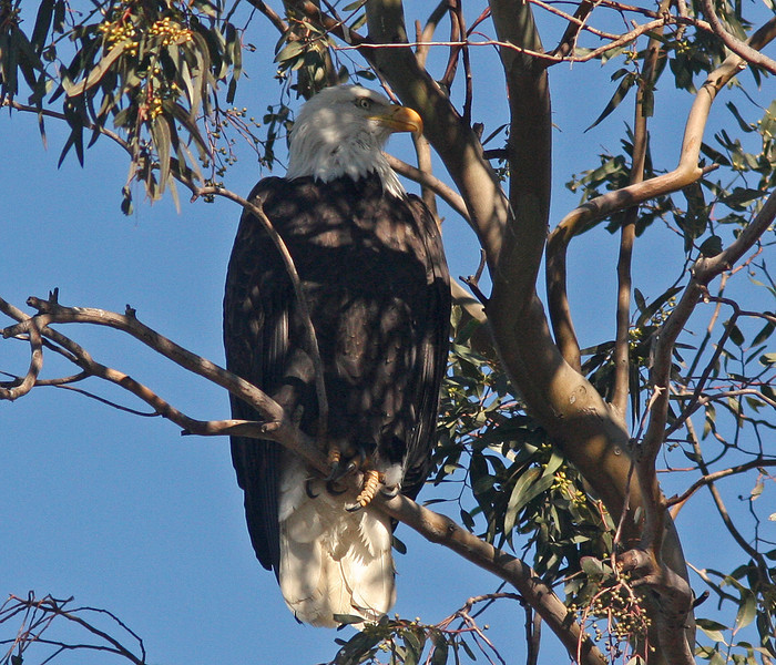 Bald Eagle, Sacramento WLR