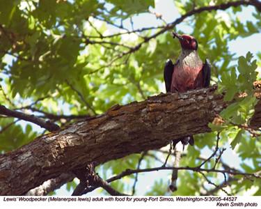 Lewis'WoodpeckerA44527.jpg