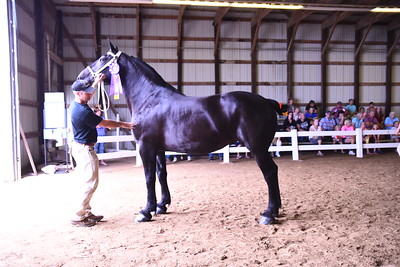 Grand Champion Percheron