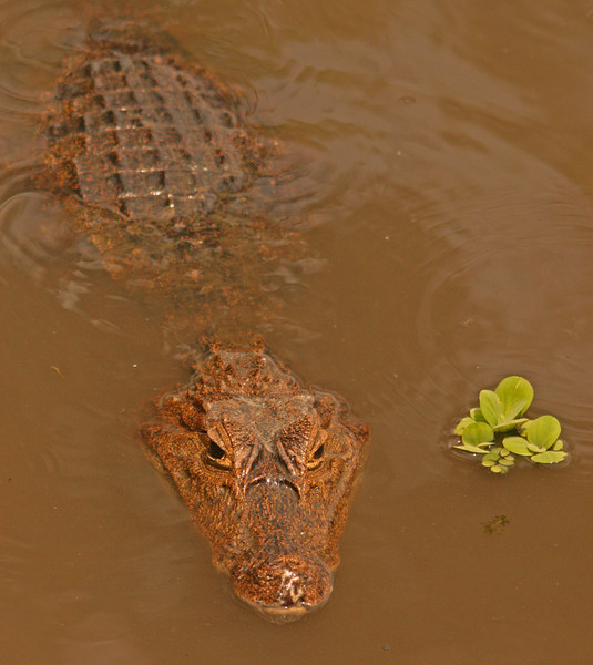 Crocodile, Chagres river