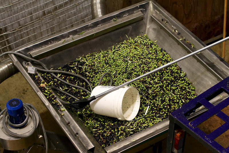 A HUGE VAT OF OLIVES LOOKS LIKE THEY WERE WAITING TO BE PROCESSED