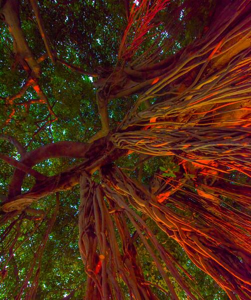 Banyan Tree 40