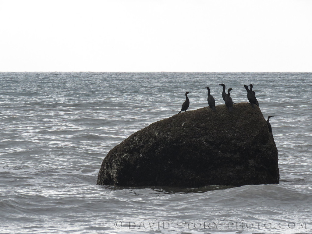 Pelagic Cormorants (Phalacrocorax pelagicus) haunt the high ground near Homer, AK.