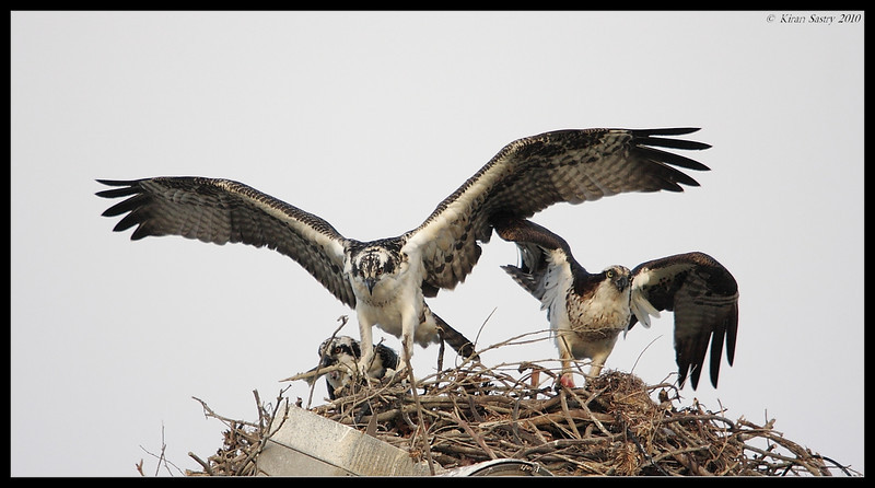 Mother Osprey giving a flight lesson, Robb Field, San Diego River, San Diego County, California, May 2010