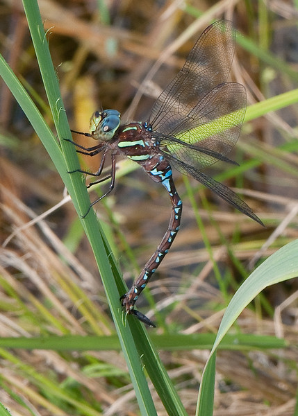 Dragon fly-12.jpg