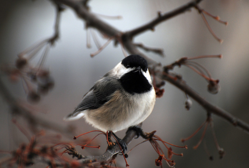 SinginChickadee2.jpg