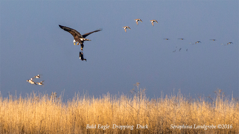 _DSC9501Seraphina Bald Eagle Dropped Duck.jpg