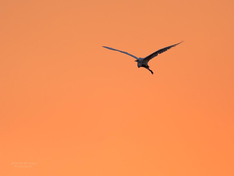 Great Egret, Chobe River, NAM, Oct 2016-3.jpg