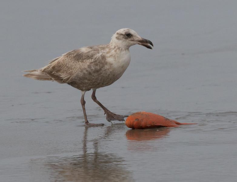 Glaucous-winged Gull  San Elijo Lagoon 2020 05 11-4.CR2