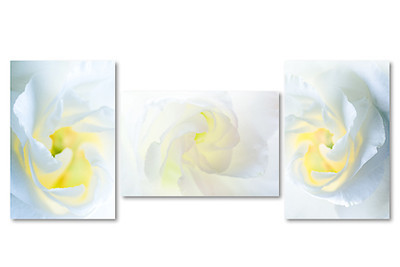 White Rose triptych