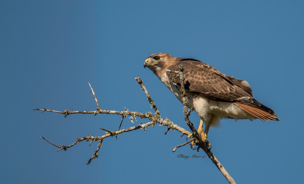 Red-tailed Hawk CB_DWL8176.jpg