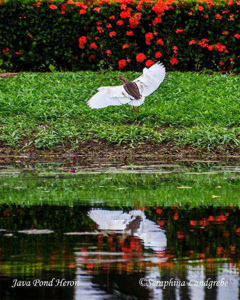_DSC5144Pond Heron Sokuthai Thaland.jpg