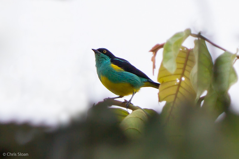 Yellow-tufted Dacnis at Rio Silanche Reserve, Ecuador (03-04-2014) 027-11-Edit.jpg