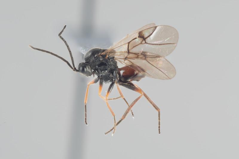 Diplolepis sp.