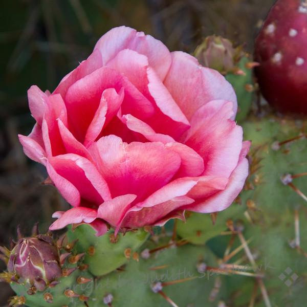 Cactus Pink - Judith Sparhawk