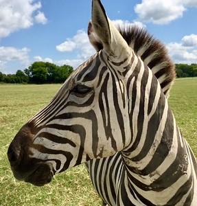 """Zebra Stripes"" (photography) by Michaelann Kelley"
