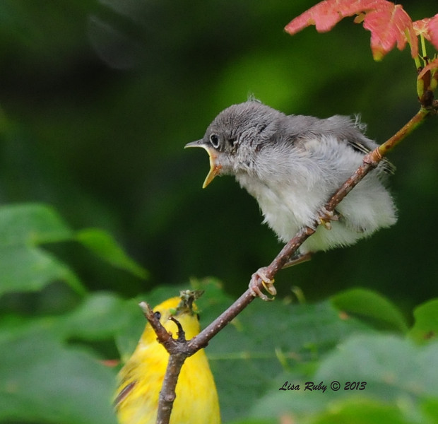 Yellow Warblers - 6/29/2013 - Decorah, Iowa