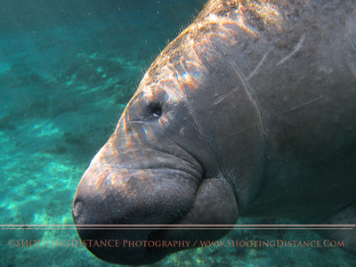 The Gentle Manatee