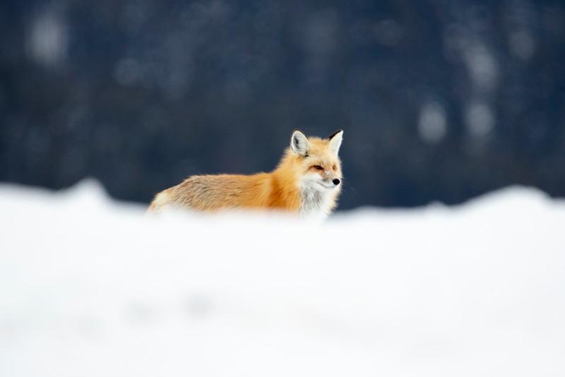 387A9739 Red Fox behind snowbank.jpg