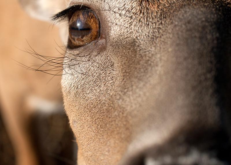 Mule deer eye