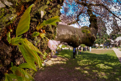 Cherry Blossoms at the University of Washington 2015
