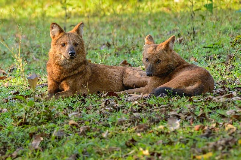 Wild-Dogs.jpg