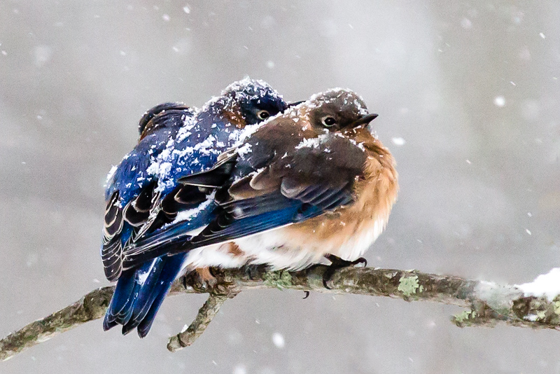 Bluebirds in Snow Copy for Country Magazine.jpg