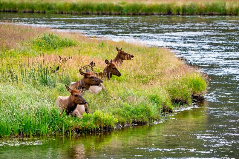 Elk by river lg (1 of 1).jpg