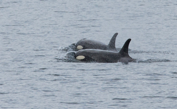 Alaska 2012 Orcas